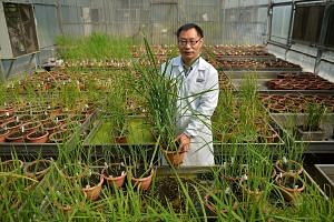 Dr Yin said the new grain represents a piece of the puzzle in the global quest for long-term food security. Rice is the main staple food crop for more than half of the world's population of 7.4 billion people, but it is predicted that rising demand w