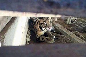 The clouded leopard that was under Mr Ramli's house in Jerantut.