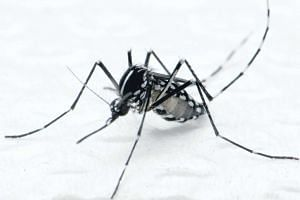 Aedes albopictus mosquito that spreads dengue fever.