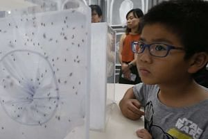 Male Aedes aegypti mosquitoes carrying the Wolbachia bacteria will be released at the Braddell Heights housing estate next Tuesday (Oct 18).
