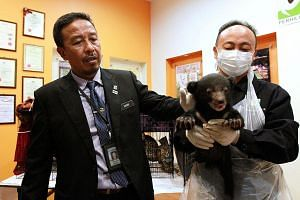 Mr Abdul Kadir (left) showing the rescued one-month-old sun bear at the Perhilitan headquarters on Tuesday.