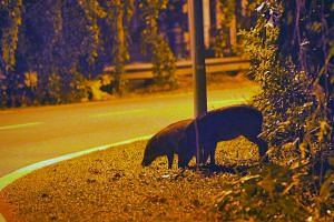 Wild boars searching for food by the side of Old Upper Thomson Road at night on Jan 16, 2012.