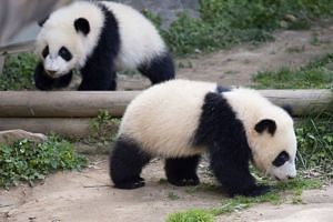 Mei Lun and Mei Huan, the first surviving pair of giant panda twins born in the US, are catching up with local dialects as well as adapting to local delicacies in their new home in Southwest China's Sichuan province.