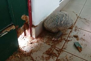 A pangolin got lost on campus on Nov 22, 2016. It was found in the Hall 7 common room.
