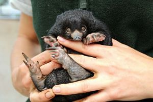Taronga Zoo is celebrating its first successful Short-beaked Echidna births in nearly 30 years, with keepers monitoring the progress of three healthy echidna puggles.