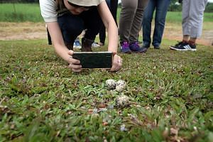 Bird eggs believed to belong to the red-wattled lapwing. Its habitats on Pulau Ubin have been enhanced, helping the species to breed more easily.