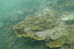 Left: A partially bleached coral on Big Sister's Island. Above: No sign of bleaching on a small colony of ring favid corals on Cyrene Reef. The study found that at deeper sites, the coral cover decline was 30 per cent, more than twice that of the 12