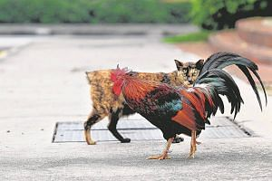 Authorities are not granting any exceptions for owners of Housing Board (HDB) flats to keep roosters and chickens at home.
