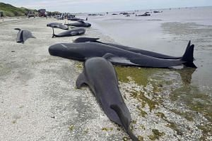Pilot whales which beached themselves overnight at Farewell Spit in the Golden Bay region at the northern tip of New Zealand's South Island.