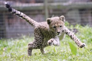 Deka the four-month old baby cheetah.