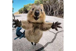 Selfies featuring quokkas are taking Instagram by storm.