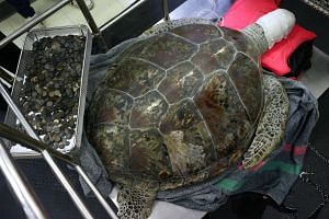 Omsin, a 25-year-old female green sea turtle, rests next to a tray of coins that were removed from her stomach.