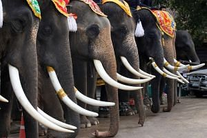Elephants are seen during Thailand's National Elephant Day celebration in the ancient city of Ayutthaya on March 13, 2017.