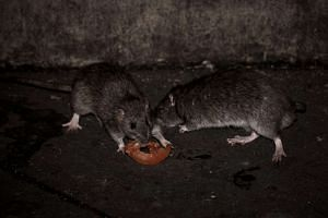 File photo of rats. Investigations showed that Kay Lim Construction & Trading had housed workers in