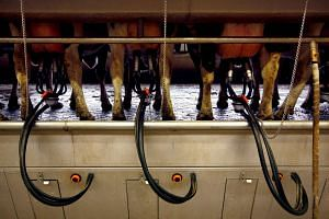 Cows stand in stalls as they are milked on a 40-hectare farm.