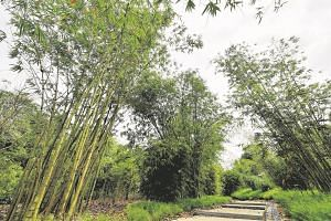 Bamboos in the Bambusetum during the media preview of the Learning Forest at the Singapore Botanic Gardens, on March 30, 2017.
