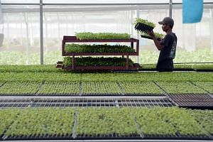 An employee working in the nursery of Kok Fah Technology Farm (KFTF) in Sungei Tengah.