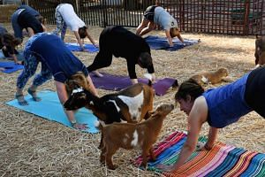 """Yoga instructor Meridith Lana teaching her students at a """"Goat Yoga"""" class by Lavenderwood Farm in Thousand Oaks, California on Sunday (June 4)."""