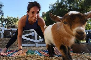 """Yoga instructor Meridith Lana teaching her students during a """"Goat Yoga"""" class organised by Lavenderwood Farm in Thousand Oaks, California."""