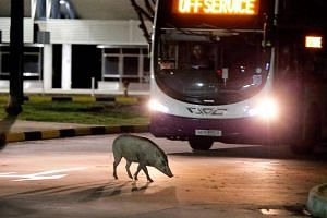 Last month, a large number of them were spotted at a bus interchange in Tuas.