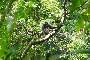Endangered silvery gibbons in Java.