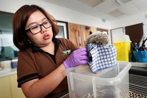 A Wildlife Reserves Singapore veterinarian examining the hedgehog seized from the Bukit Panjang flat. A pig-tailed macaque and a leopard cat seized by AVA inspectors.The most commonly seized animals are star tortoises, hedgehogs, ball pythons, sugar