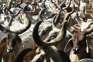 Cows gather together at the 'Sri Krishna' cow shelter in Bawana, a suburb of the Indian capital New Delhi,on July 19, 2017.
