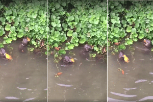 Two otters were spotted feasting on orange fish.