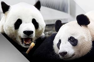 China's giant pandas Cai Tao and Hu Chun will be adopted and taken care of by Taman Safari Indonesia.