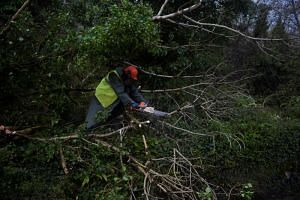 A worker clearing fallen trees off a road with a chainsaw during Storm Ophelia in the County Clare area of The Burren, Ireland on Oct 16, 2017.