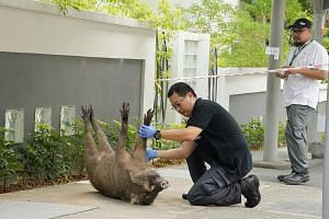 Above: Mr Jin suffered cuts and lacerations on both legs in the attack outside a condominium in Bukit Gombak yesterday morning. He is expected to be hospitalised for a few days. Left: The wild boar tried to escape but was hit by a bus and later died.