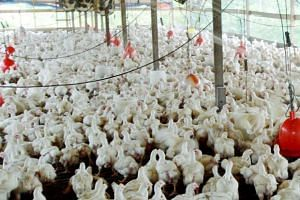 Johor authorities ordered a poultry farm and factory to close, after they were identified as being behind the pollution in the Johor River.