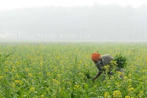 An Indian farmer harvests mustard leaves amid heavy smog in a field on the outskirts of Amritsar on Nov 11, 2017.