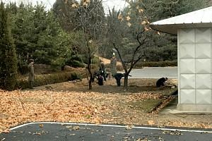 North Korean soldiers dig a trench and plant trees in the area where a defector ran across the border, on Nov 13, at the Demilitarized Zone (DMZ).