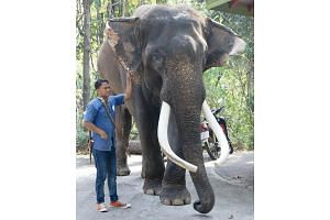 Celebrity elephant Ekasit stands next to one of Chiang Mai Zoo's elephant handlers in this undated photo.