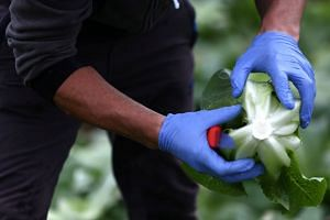 A migrant worker examines a lettuce at a farm in Kent, Britain, in July 2017.