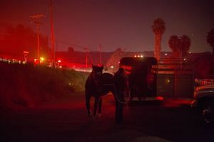 Horses that survived the Lilac Fire in their stalls are loaded onto a trailer in the early morning hours of Dec 8, 2017 near Bonsall, California.