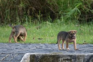 Stray puppies spotted at the Sungei Buloh Wetlands Reserve in January this year. AVA estimates there are currently about 7,000 stray dogs in Singapore and aims to sterilise 70 per cent of them in five years.