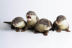 2017 was a good year for the otters with a total of 14 successful Asian small-clawed otter births across Night Safari and Singapore Zoo.
