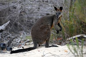 Sydney the swamp wallaby is seen after being released into bushland at Ku-ring-gai Chase National park, north of Sydney, Australia, on Jan 25, 2018.