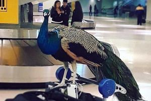 In photos posted on The Jet Set's Facebook page, the animal could be seen resting on a luggage trolley. Some netizens have cast doubt on whether the peacock is an actual emotional support animal.