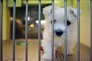 SPCA has expressed concern that there may be impulse purchases of dogs this Chinese New Year.