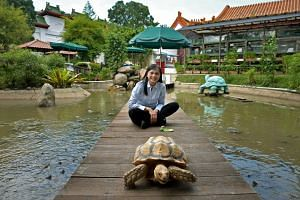 Museum owner Connie Tan, with an African spurred tortoise, roaming freely at the Live Turtle and Tortoise museum in Chinese Garden in Jurong on Jan 12, 2015.