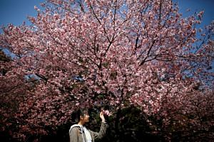 A visitor looks at early flowering Kanzakura cherry blossoms in full bloom at the Shinjuku Gyoen National Garden in Tokyo, Japan, on March 14, 2018.