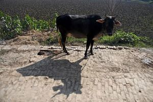 The murder was one of a series of attacks related to cows, which are considered sacred by Hindus.