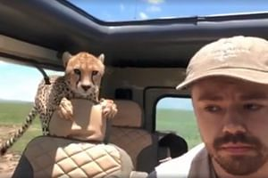 In a video captured by photographer Peter Heistein, the curious cheetah is seen on a back seat in the vehicle, sniffing around and checking it out.