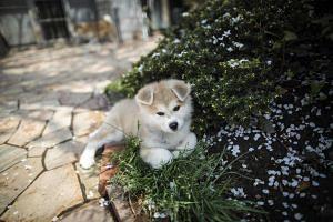 An Akita dog resting at a breeding centre in Takasaki, Gunma prefecture.