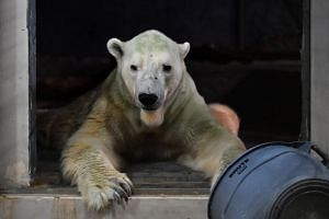 A team of veterinarians, zoologists and the zoo's animal welfare team will evaluate if treatment can be modified to save Inuka, the only polar bear to be born in the tropics.