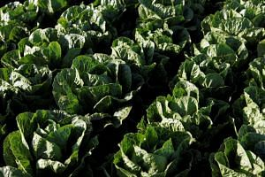 Public health officials in the US are warning members of the public to avoid all types of romaine lettuce over an outbreak of E. coli.