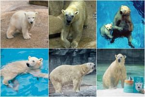 Singapore Zoo's Inuka, the first and only polar bear born in the tropics, through the years.